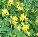 Corydalis-lutea plant