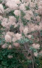 American Smoketree (Cotinus obovatus)