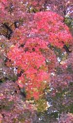cotinus-obovatus dll coloration