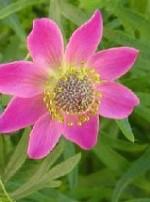 Anemone lesseri2