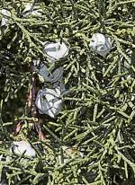 Cupress arizonica 2