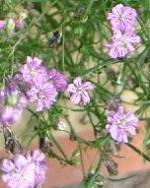 Gypsophila_muralis