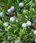 Juniperus virgiana