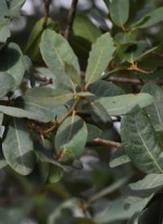 quercus-engelmannii-lvs