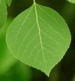 Populus_tremuloides