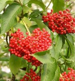 Sorbus sitchensis Hansen's Northwest Native Plant Database