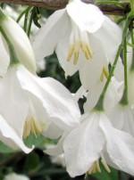 halesia-diptera-var-magniflora