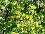 Ribes aureum2