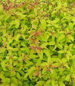Spiraea-Japonica-Gold-Flame