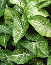 fine identifying house plants by leaves plant and design inspiration - House Plant Identification By Leaf