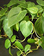 house plants vines