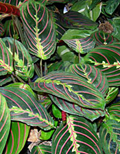 leaves fold up at night - House Plant Identification By Leaf